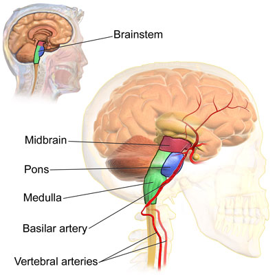 Diagram of the brainstem. Image via Wikimedia Commons.