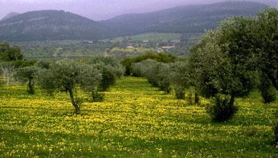 Sardinia Maristella Olive Grove. Image via Wikipedia.