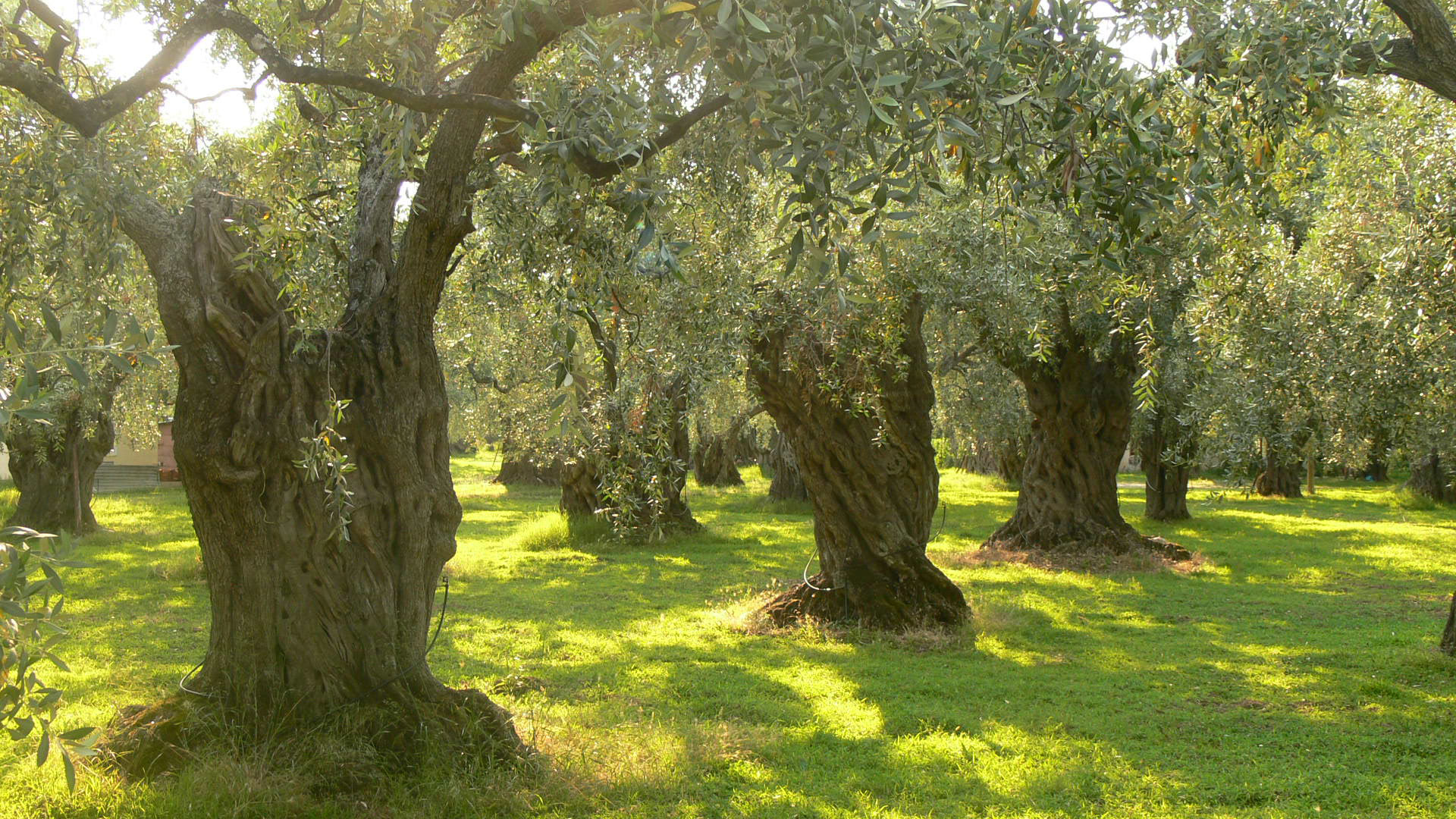 Olive Trees on Thassos, Greece. Image via Wikipedia.