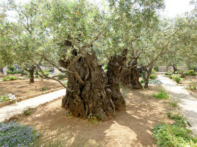 Olive Tree in the Garden of Gethsemane. Image by Jasmin Gimenez.