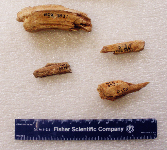 Horse bone and tooth fragments from Mayapan. The Agassiz Museum, Harvard University, MCZ 3937. Image taken from Daniel Johnson's article in BYU Studies