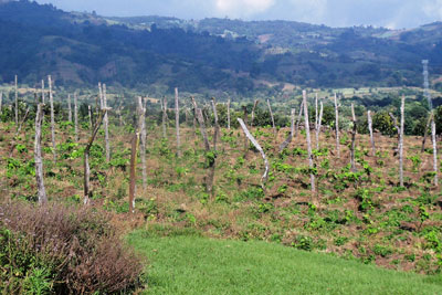 Vineyard at Chateau DeFay, near Guatemala City. Image via bookofmormonresources.blogspot.com.