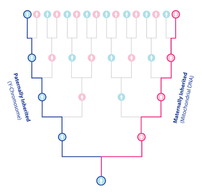 Chart showing how Y-Chromosome and Mitochondrial DNA are only represented by a small portion of a person's ancestry. Image by Book of Mormon Central.