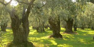 Olive Trees on Thassos, Greece. Image via Wikipedia.