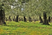 Olive Grove via surfingbird.ru