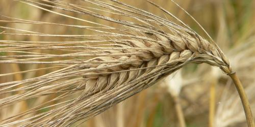 Stalk of Barley via Wikimedia commons.